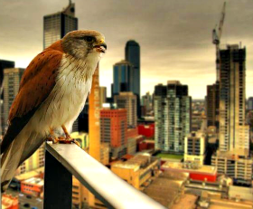 HawkWatching&Waiting